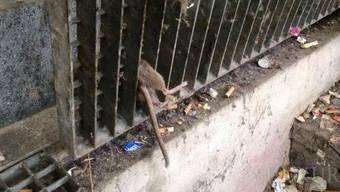 Hier steckt die Ratte fest.