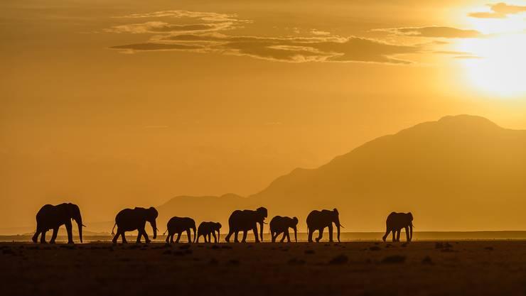 Elefantenherde im Amboseli-Nationalpark in Kenia.
