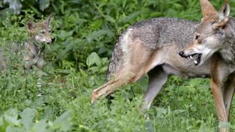 Auf einer Alp oberhalb von Zinal sind vergangene Woche 16 Schafe angegriffen worden. Fünf davon wurden getötet, elf weitere verletzt. Vermutlich handelte es sich beim Angreifer um einen Wolf. (Archivbild)