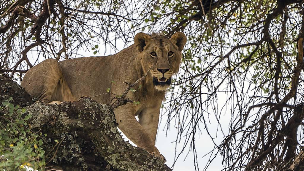 Behörden in Tansania wollen 36 Löwen umsiedeln