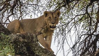 Ein junger Löwe auf einem Baum im Tarangire National Park in Tansania. (Archivbild)