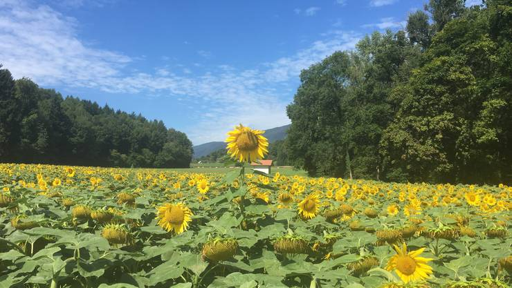 Eine überragende Persönlichkeit auf dem Sonnenblumenfeld