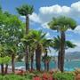 Entlang der Promenade in Lugano sehen sie hübsch aus, in den Tessiner Wäldern sind die Palmen aber ein Problem.