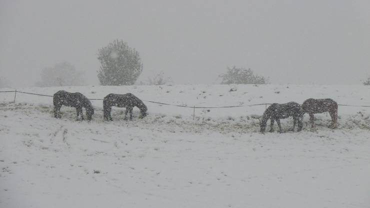 Pferde grasen im Schnee am Schlieremerberg.
