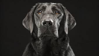 Ein Labrador Retriever hat zugebissen – vor Gericht nahm der Fall eine unerwartete Wende. (Symbolbild)