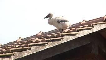 Herzzerreissend – und doch überliessen die Vogelschützer das Schicksal des Storchenbabys der Natur.