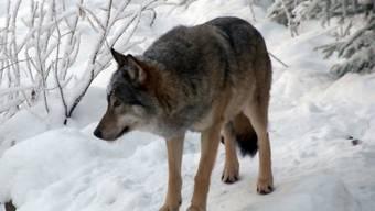 Während eines Monats werden die Wölfe in Finnland gejagt. (Archiv)