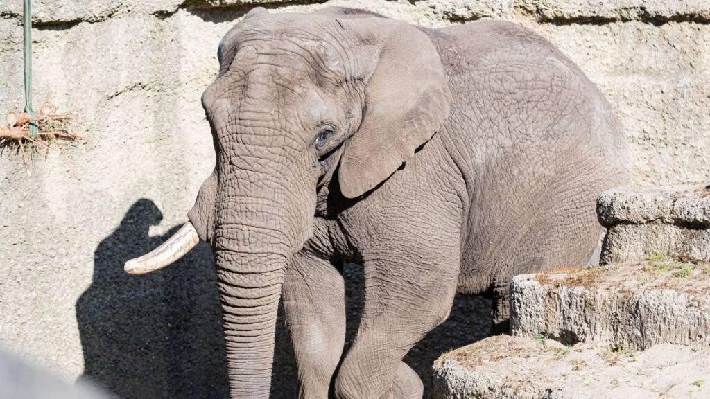 Neuer Elefantenbulle soll im Zoo Basel für Nachwuchs sorgen