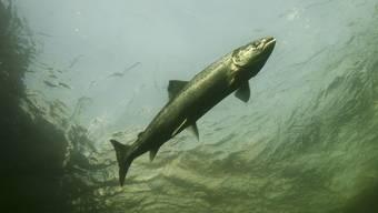 Dem Lachs soll der Zugang zum Zürichsee durch Fischtreppen ermöglicht werden. (Symbolbild)