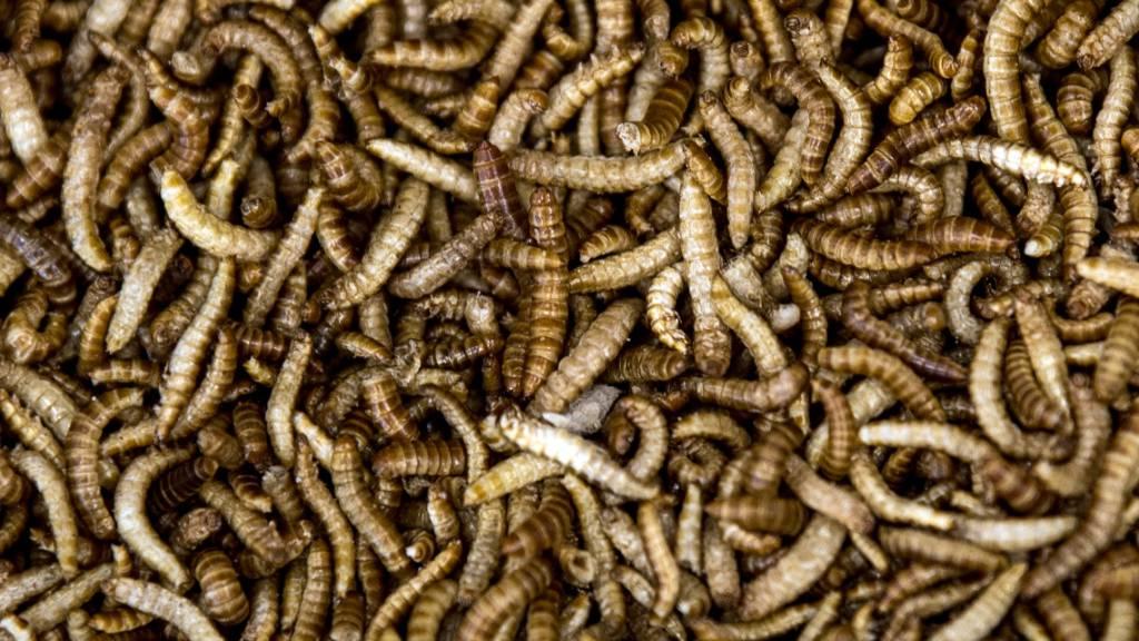 Mehlwürmer in der EU als Lebensmittel zugelassen