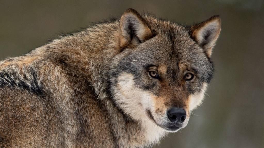 Der Wolf hielt sich im vergangenen Jahr im Kanton Schwyz eher zurück. (Symbolbild)