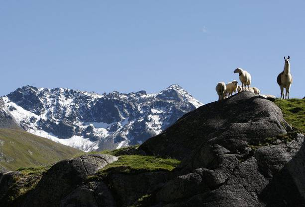 Wandert man ab Davos, kann man Schafen und Lamas auf dem Flueelapass antreffen.