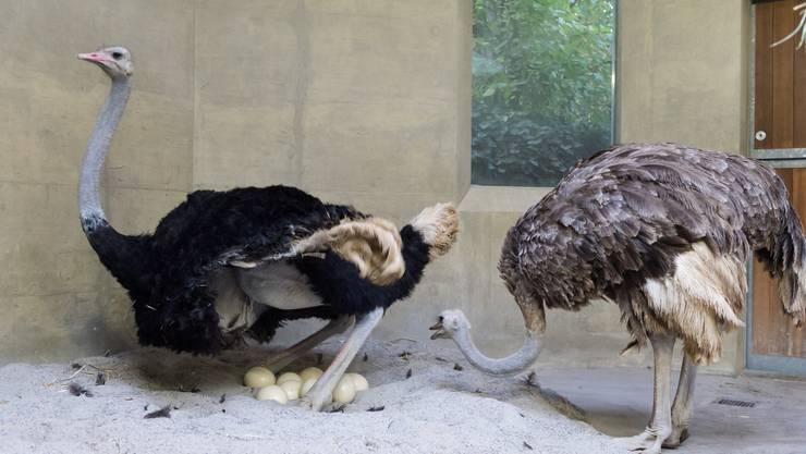 Anders als andere Vögel erleben die Strausse im Zoo Basel ihre Frühlingsgefühle im Herbst: Straussenhahn Baringo (21) die Henne Manyara (22)