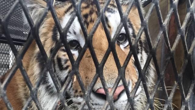 Mann findet Tiger in verlassenem Haus