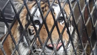 Eigentlich wollte ein Mann in Houston nur in Ruhe Gras rauchen. Er fand aber einen Tiger.