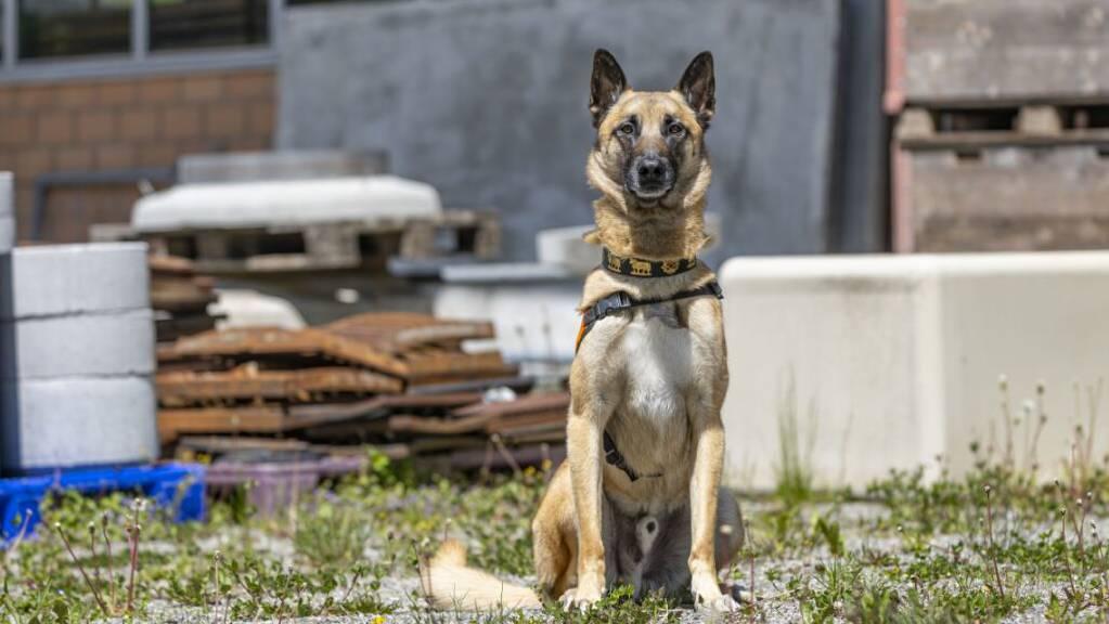 Der Polizeihund «Jango vom Grafenfels» konnte den jungen Mann, der in Teufen AR ohne Führerausweis Motorrad fuhr, nach kurzer Zeit aufspüren.