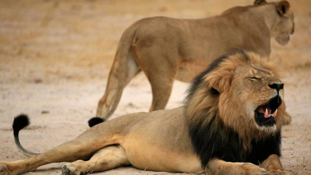 Die Tötung des Löwen Cecil (mit Mähne) sorgte für weltweite Empörung (Archiv).