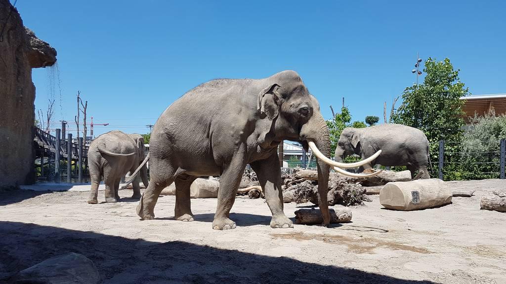 Elefantenbulle Mekong darf nach 30 Tagen aus der Quarantäne