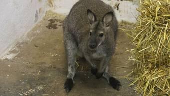 Känguru Caleb in seinem Stall in Ueken