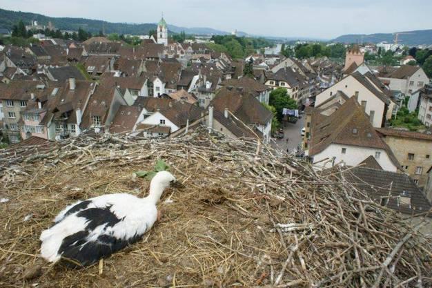 Storch im Nest auf dem Storchennestturm hoch über der Altstadt ist beringt