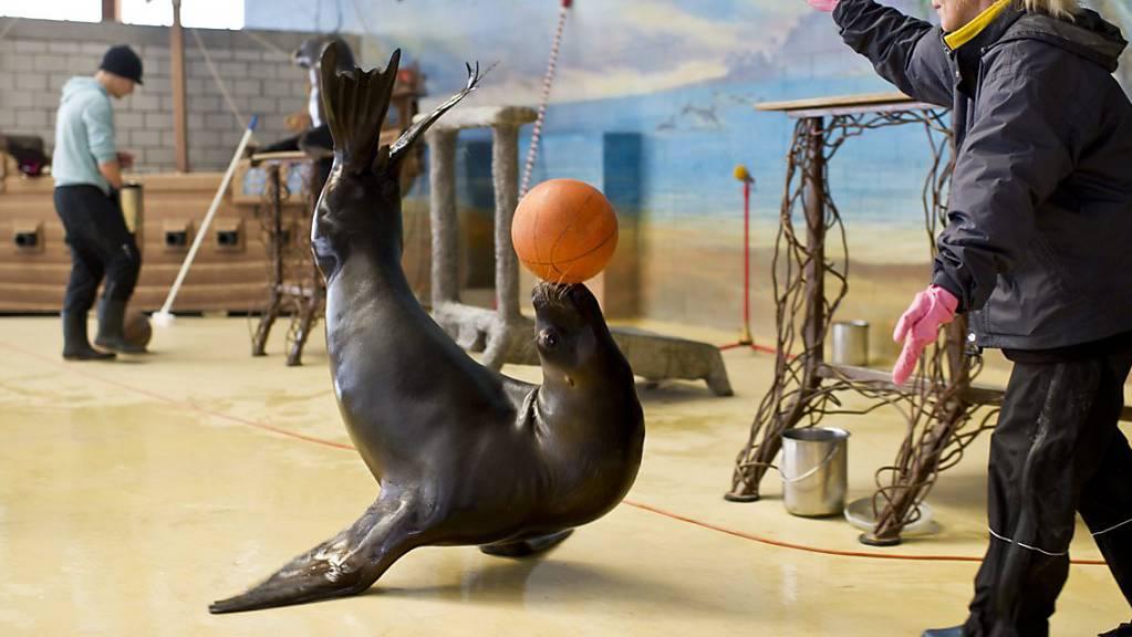 Eine Pflegerin arbeitet mit einem Seelöwen im Connyland in Lipperswil TG. Weil sich die Besucher nicht an die Abstandsregeln hielten, führte der Freizeitpark bei den Shows die Maskenpflicht ein. (Archivbild)