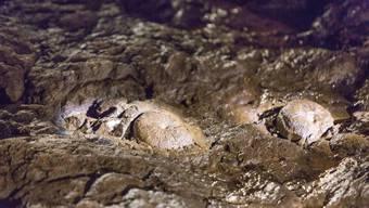 Eher zufällig ist man in Bergwerk Herznach in einem Seitenstollen auf einen rund 160 Millionen Jahre alten Meeresboden gestossen, der mit Hunderten von Ammoniten übersät ist. Geologen bezeichnen diesen Meeresboden in seiner Art als «einzigartig». Aufgenommen wurde das Bild der zwei Ammoniten am 21. März 2018 anlässlich einer Pressebesichtigung im Bergwerk in Herznach.