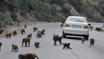 In Indien leben rund 50 Millionen Affen, der Verlust ihres natürlichen Lebensraums lässt sie immer weiter in die Städte vordringen. (Archivbild)