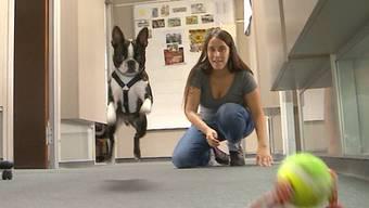 Wer einen Hund hat, will ihn wohl ungern den ganzen Tag alleine zuhause lassen. Doch was bleibt ihm anderes übrig, zur Arbeit kann er ja nicht mit – oder doch? Die Sendung «tierisch» hat ein Büro besucht, in dem sich gleich mehrere Hunde tummeln.