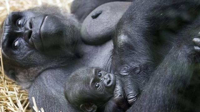 Gorilla-Weibchen Mamitu mit ihrer Tochter Mawimbi