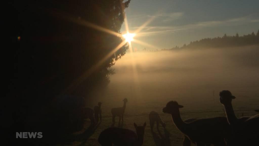 20 Alpakas zügeln nach Zürich: Berner Hof kann dank Erfolg expandieren
