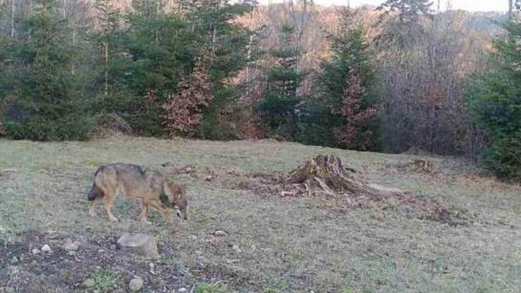 Eine Wildtierkamera fotografierte den Wolf in Bäretswil bei Hinwil ZH.