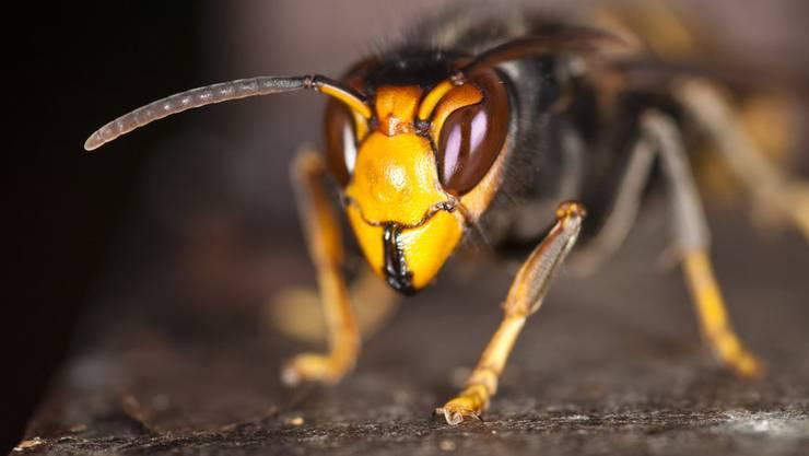 Die Asiatische Hornisse bedroht die heimische Honigbiene.