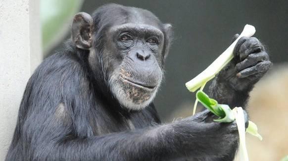 Im Basler «Zolli» werden nicht-menschliche Primaten erforscht.