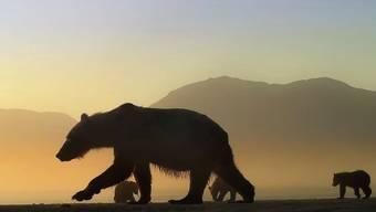 Die Begegnung mit einer Bärenmutter und ihren Jungen gilt gemeinhin als lebensgefährlich. David Bittner kommt auch ihnen problemlos sehr nahe.