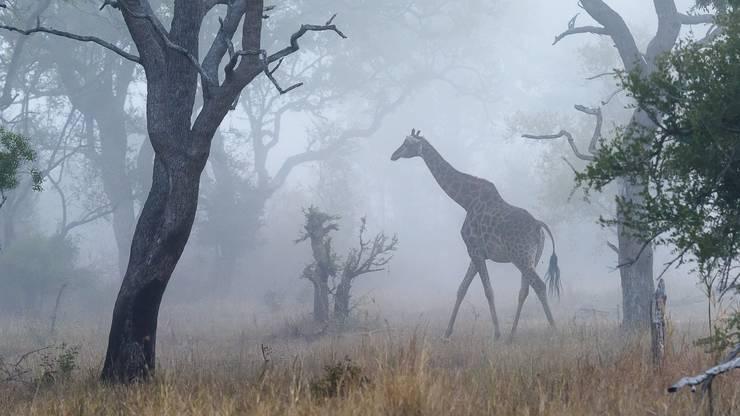 Eine Giraffe taucht im Mala-Mala Game Reserve gespenstisch aus dem Nebel auf.
