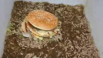 Das Video zeigt, wie sich die Larven der Schwarzen Soldatenfliege über einen Burger hermachen.