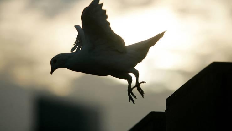 Das Bundesgericht hat eine bedingte Freiheitsstrafe für einen Taubenzüchter bestätigt, der Raubvögel vergiftete. (Symbolfoto)