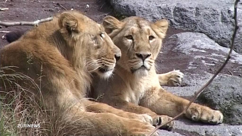 Zoo Zürich: Trauer um Löwendame Joy