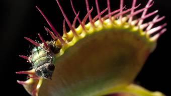Fleischfressende Pflanzen sind wegen des Klimawandels und wegen Umweltverschmutzungen vom Aussterben bedroht. (Archivbild)