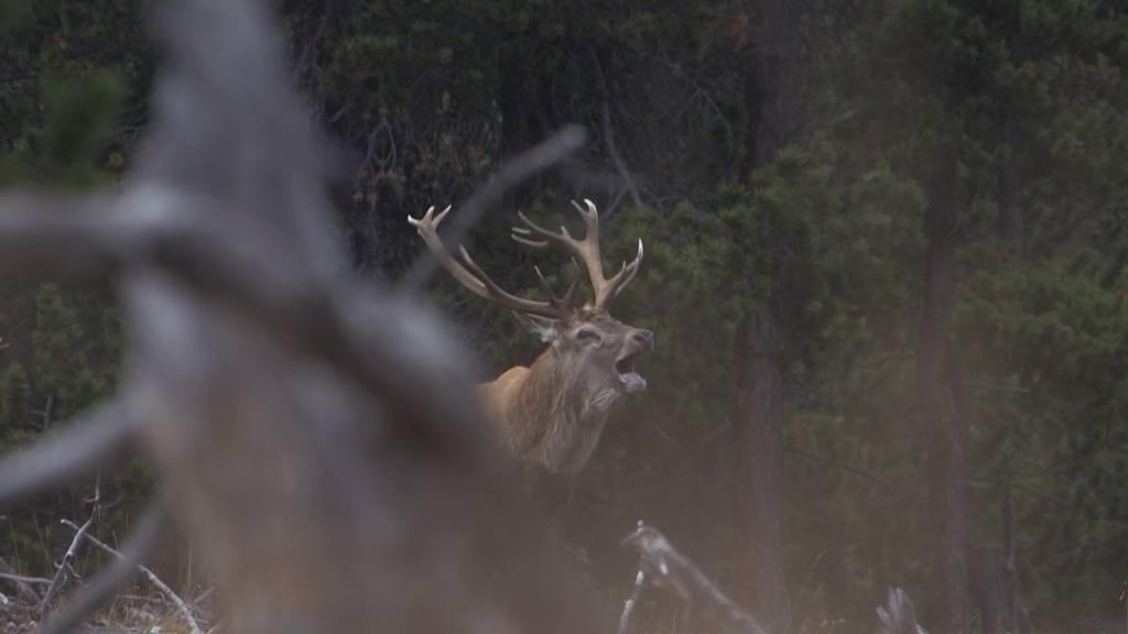 Tierischer Herbst - Parkwächter Claudio und die Hirschbrunft
