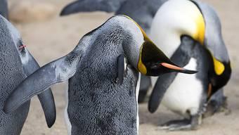 Im kanadischen Calgary ist es derzeit so kalt, dass der dortige Zoo sogar die Königspinguine ins Warme brachte. (Archiv)