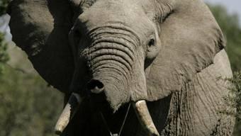 Der Elefant frass die Tasche samt Inhalt (Archivbild)