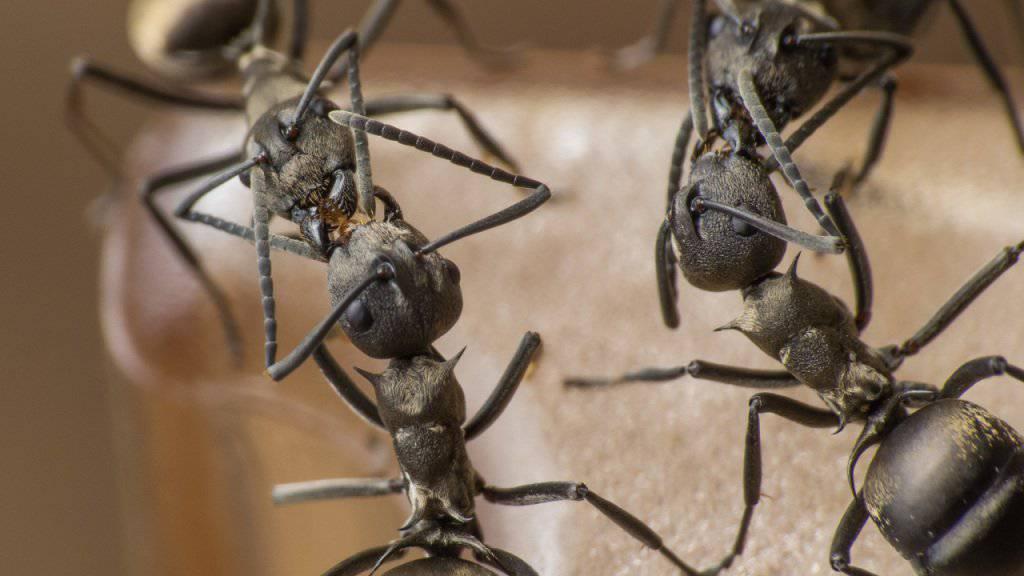 Das gegenseitige Füttern ist im Tierreich weit verbreitet, auch bei staatenbildenden Insekten wie Ameisen.