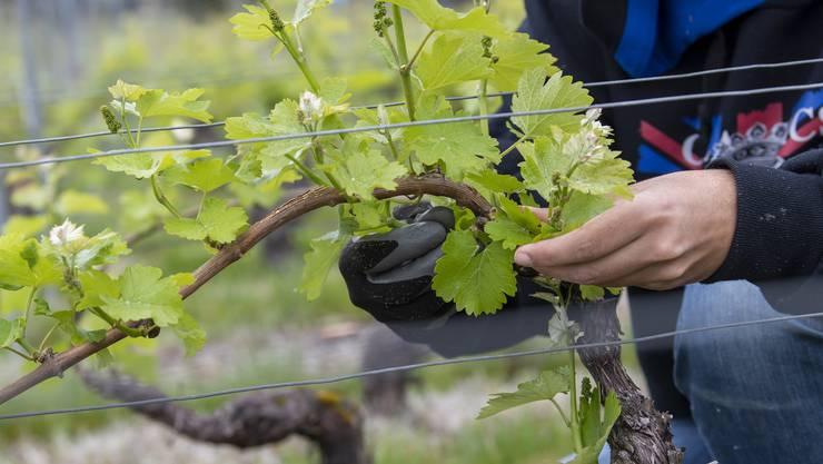 In Kantonen mit viel Rebbau erzielt die Landwirtschaft tendenziell eine etwas höhere Nettowertschöpfung.