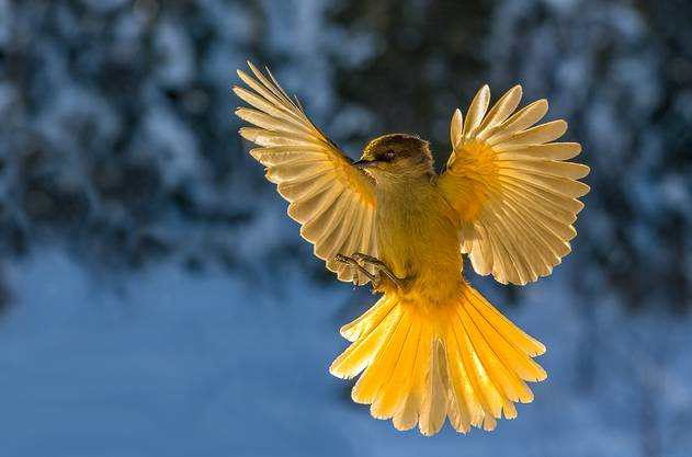 Der «Kuukkeli» ist der Glücksvogel der Finnen.
