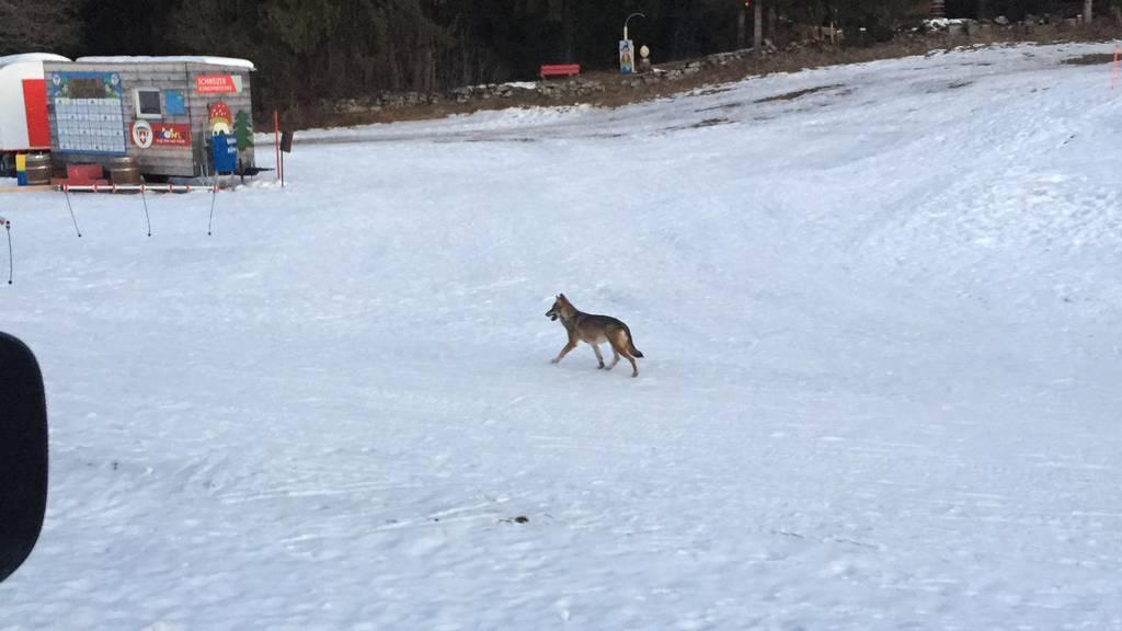 «Nicht normal» – Wolf läuft über Skipiste in Obersaxen