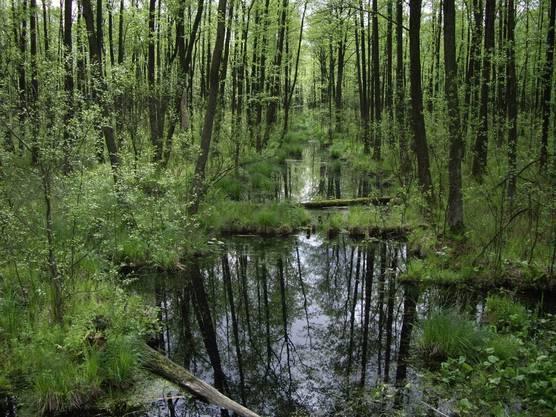 Schwarzerlensumpfwälder sind Endstadien der ungestörten Vegetationsentwicklung. Der russische Zar ordnete den Bau von Kanälen an, doch die Geschichte nahm einen anderen Verlauf.
