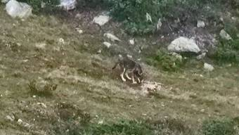Foto eines Jungwolfes in der Gegend der Eischollalp im Kanton Wallis.