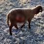 Landwirt Fritz Zimmermann macht am Sonntagmorgen auf seiner Schafweide eine schlimme Entdeckung.