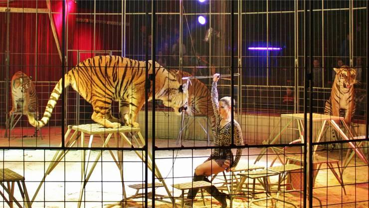 Wie schon in früheren Jahren will der Circus Royal nächstes Jahr wieder Raubtiere in die Manege holen.